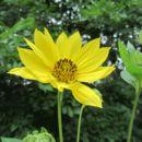 Image of giant sunflower