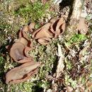 Image of <i>Tremiscus helvelloides</i>