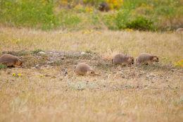 Image of Black-tailed Prairie Dog