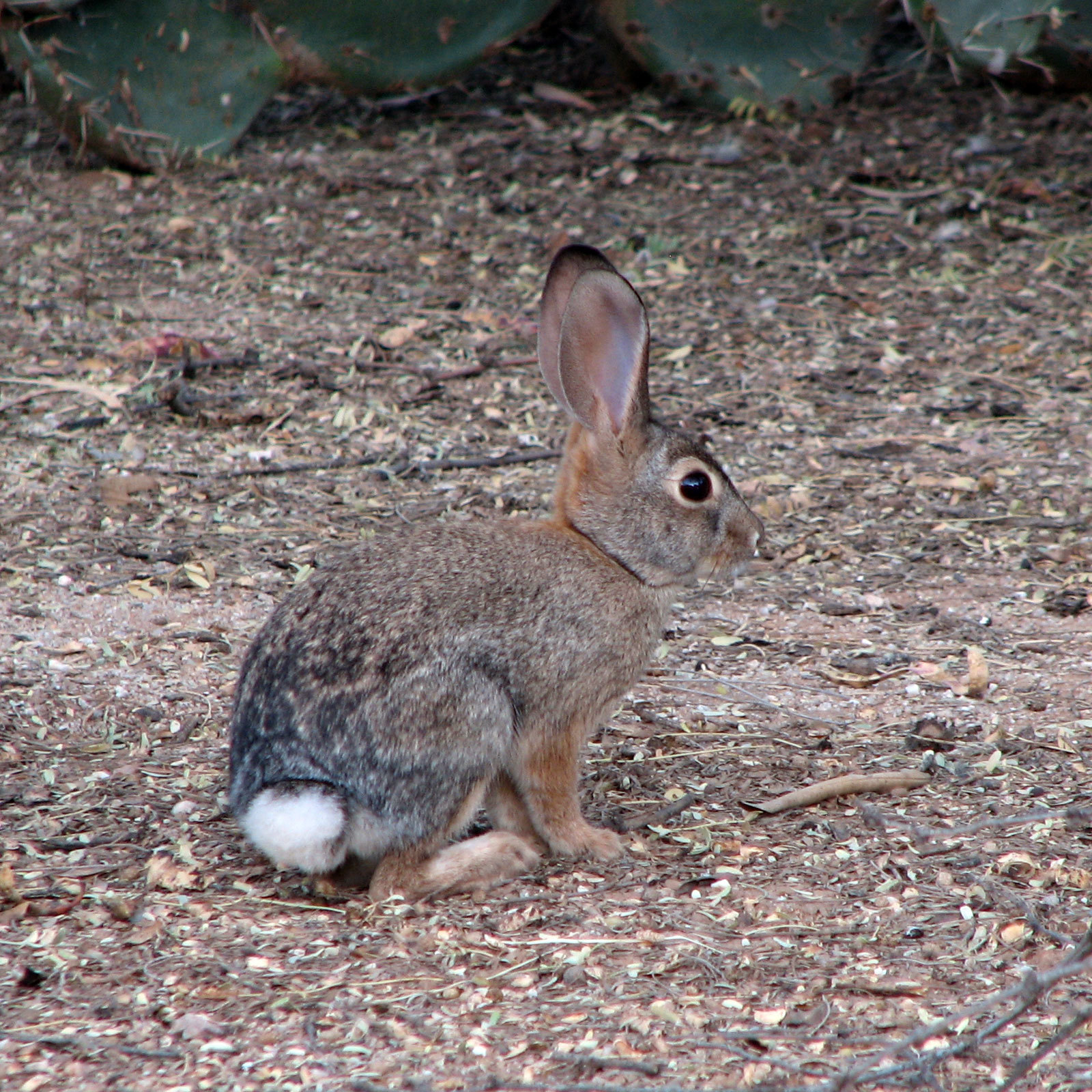 Image of Audubon's Cottontail