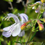 Image of largeflower false rosemary
