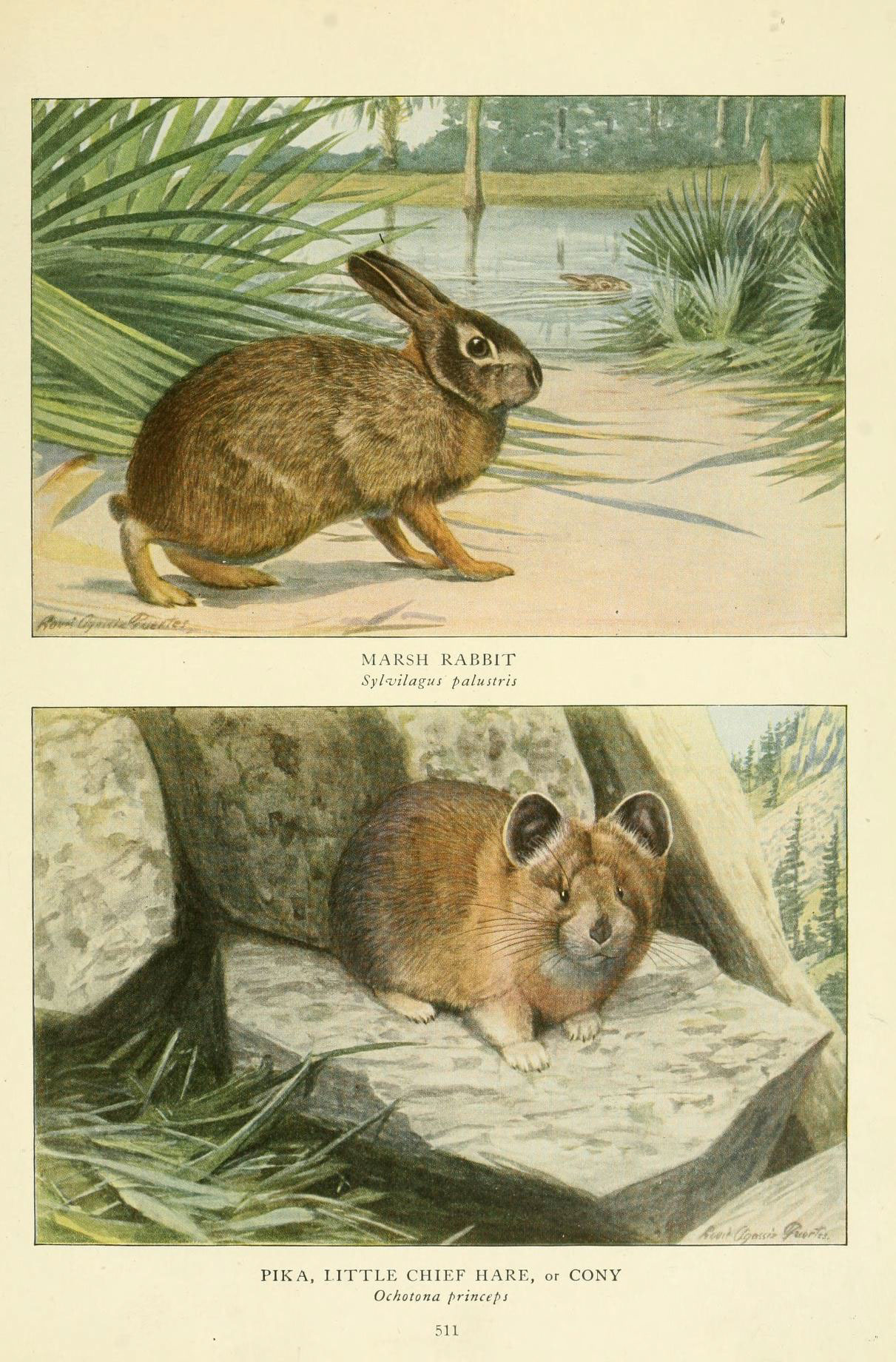 Image of Marsh cottontail rabbit