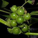 Image of <i>Solanum volubile</i> Sw.