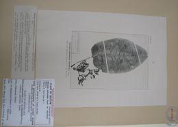 Image of <i>Delissea subcordata</i> ssp. <i>obtusifolia</i> (Wawra) Lammers