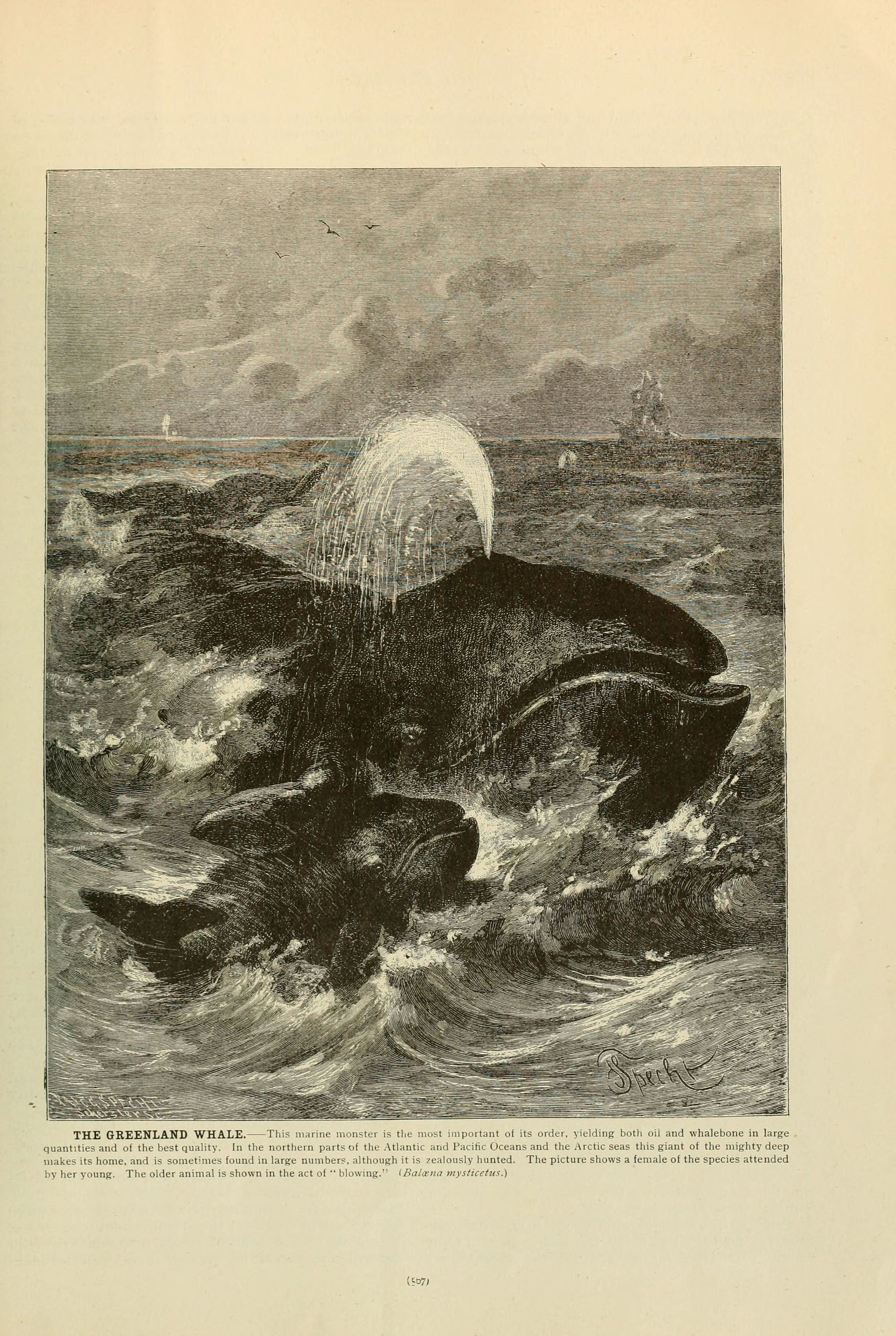 Image of Whale