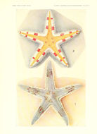 Image of <i>Astropecten granulatus</i> Müller & Troschel 1842