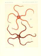 Image of <i>Ophiomyxa australis</i> Lütken 1869