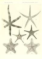 Image of <i>Luidia hexactis</i> H. L. Clark 1938