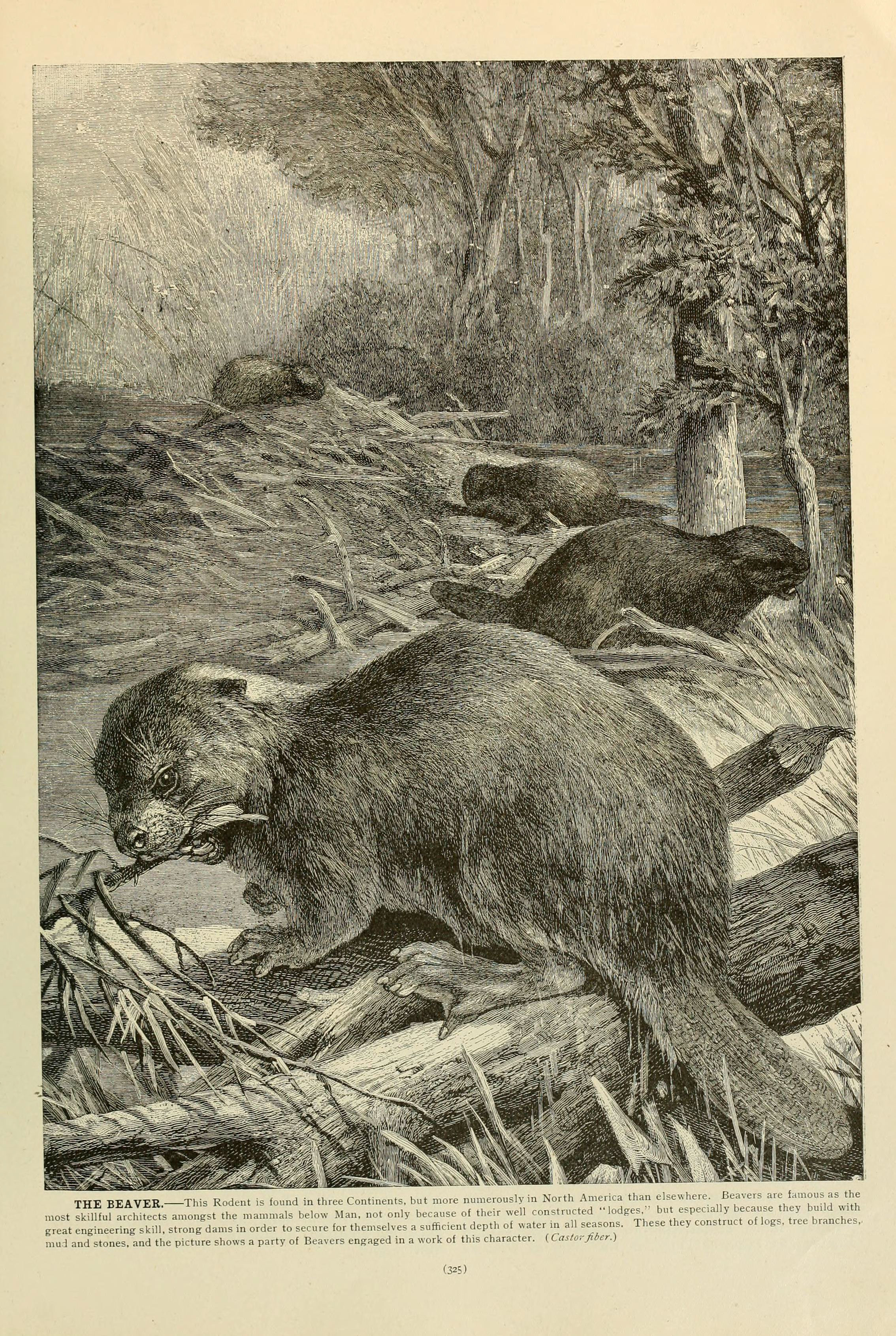 Image of European beaver