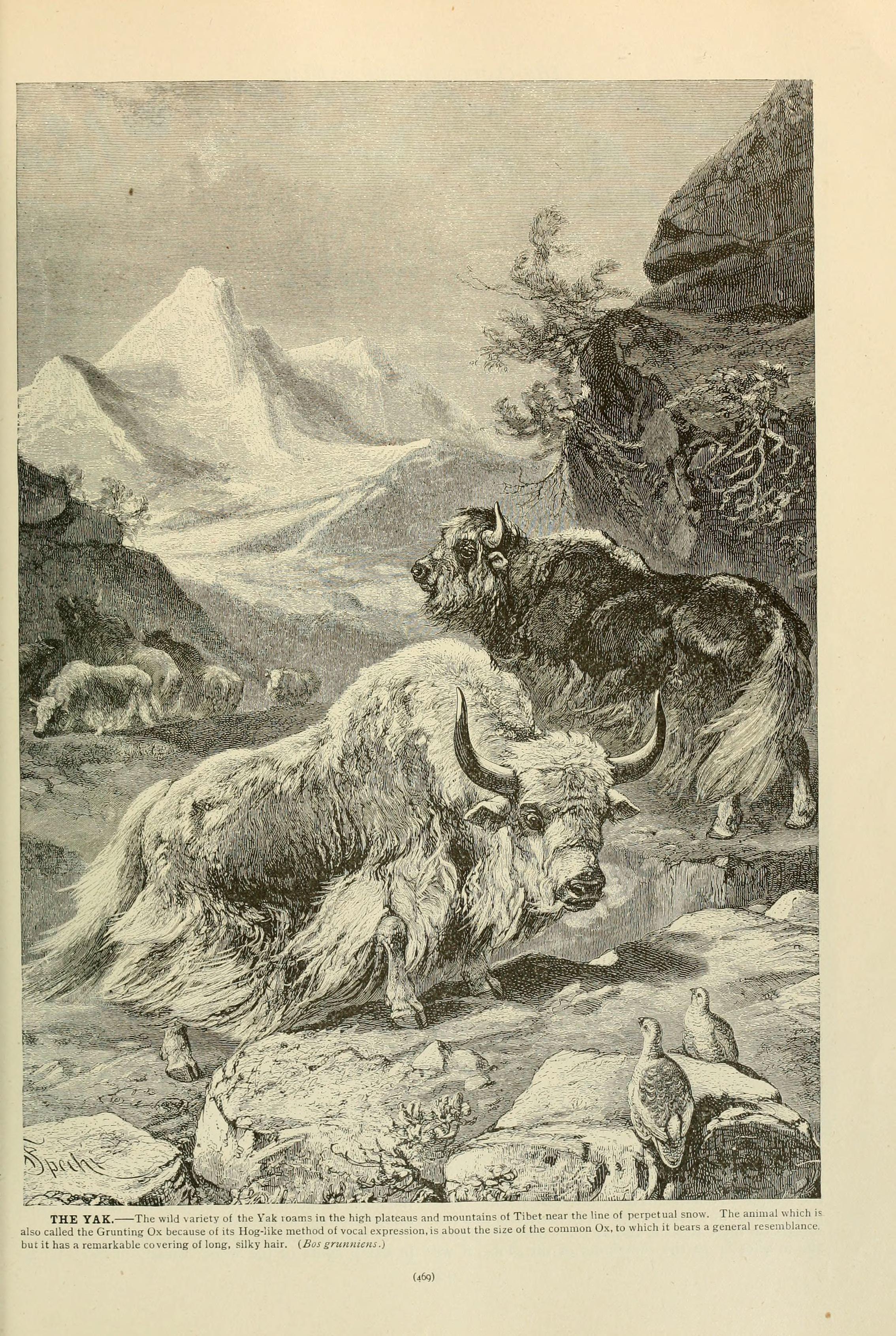 Image of <i>Bos mutus</i>