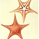 Image of <i>Stellaster inspinosus</i> H. L. Clark 1916