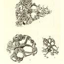 Image of <i>Euryale euopla</i>
