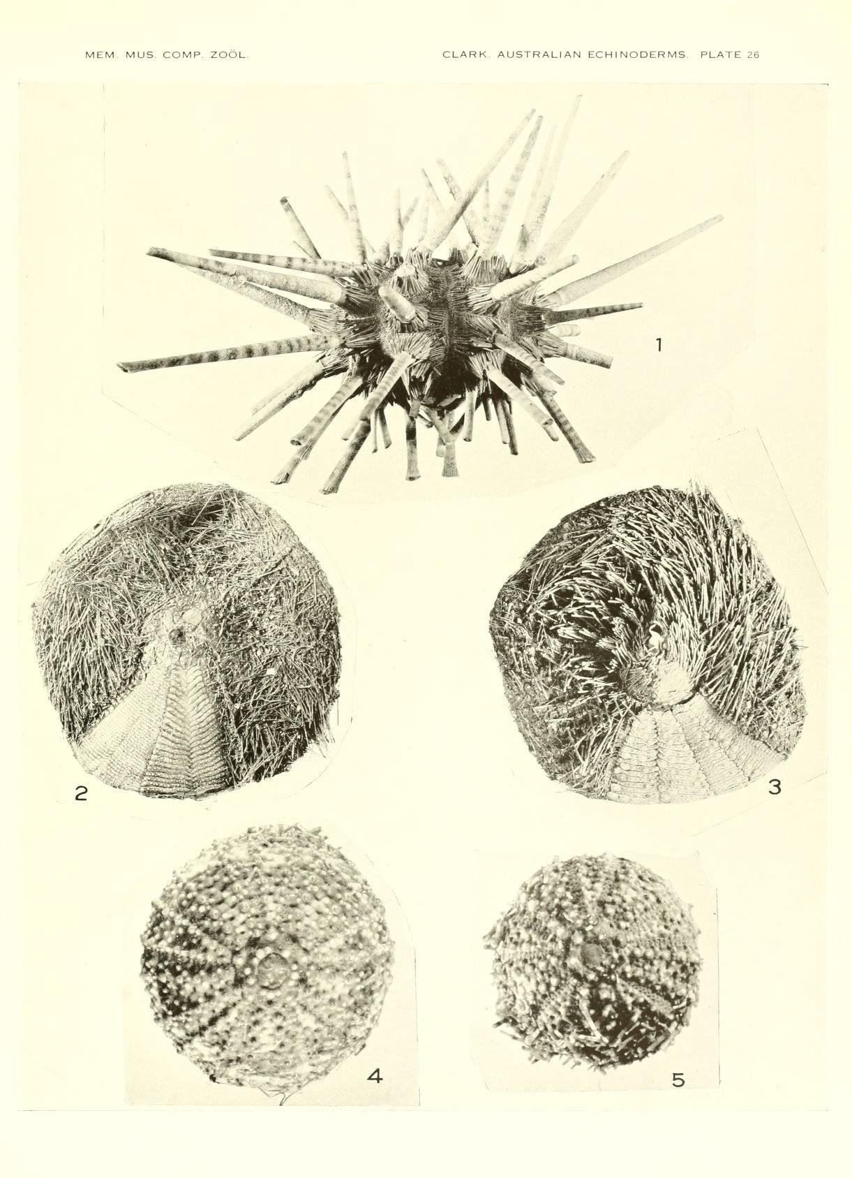 Image of <i>Prionocidaris bispinosa</i> (Lamarck 1816)