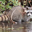 Image of raccoons