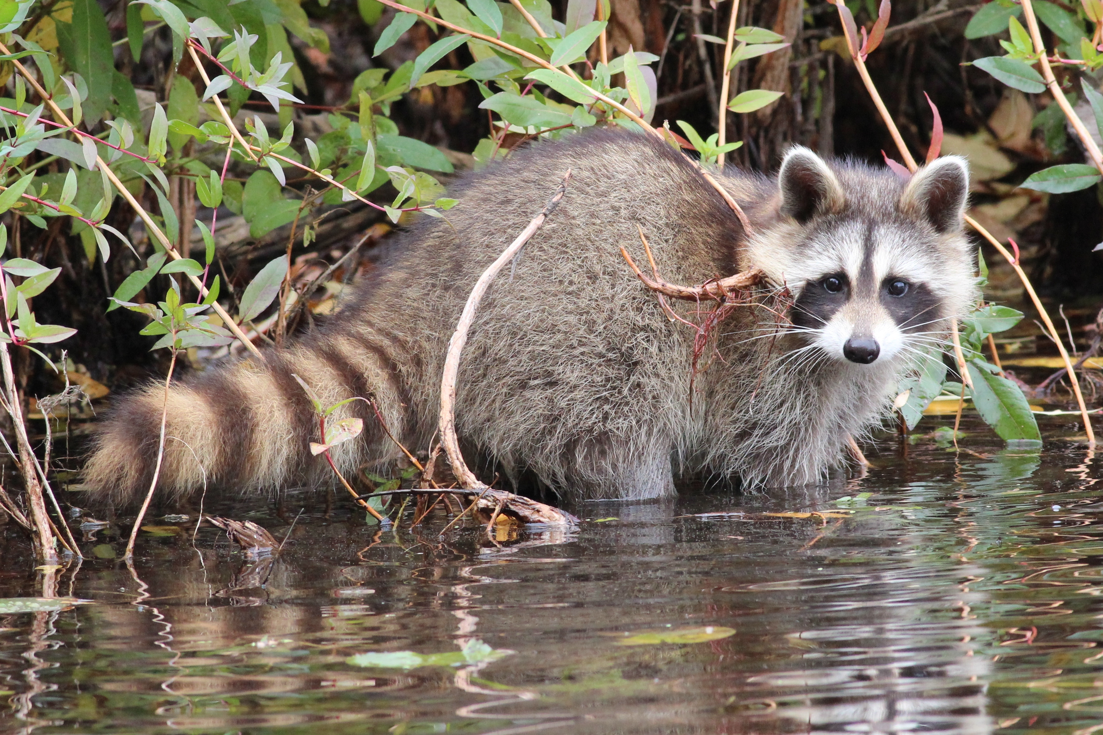 Image of Common Raccoon