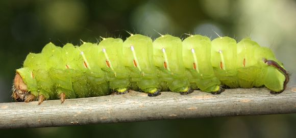 Image of Tussah moths