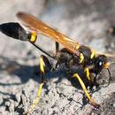 Image of Black and Yellow Mud Dauber