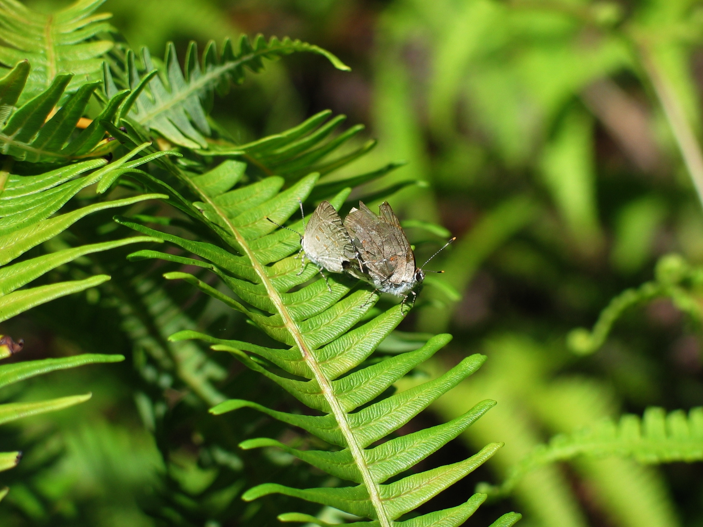 Image of Four-spotted Hairstreak
