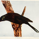 Image of common grackle
