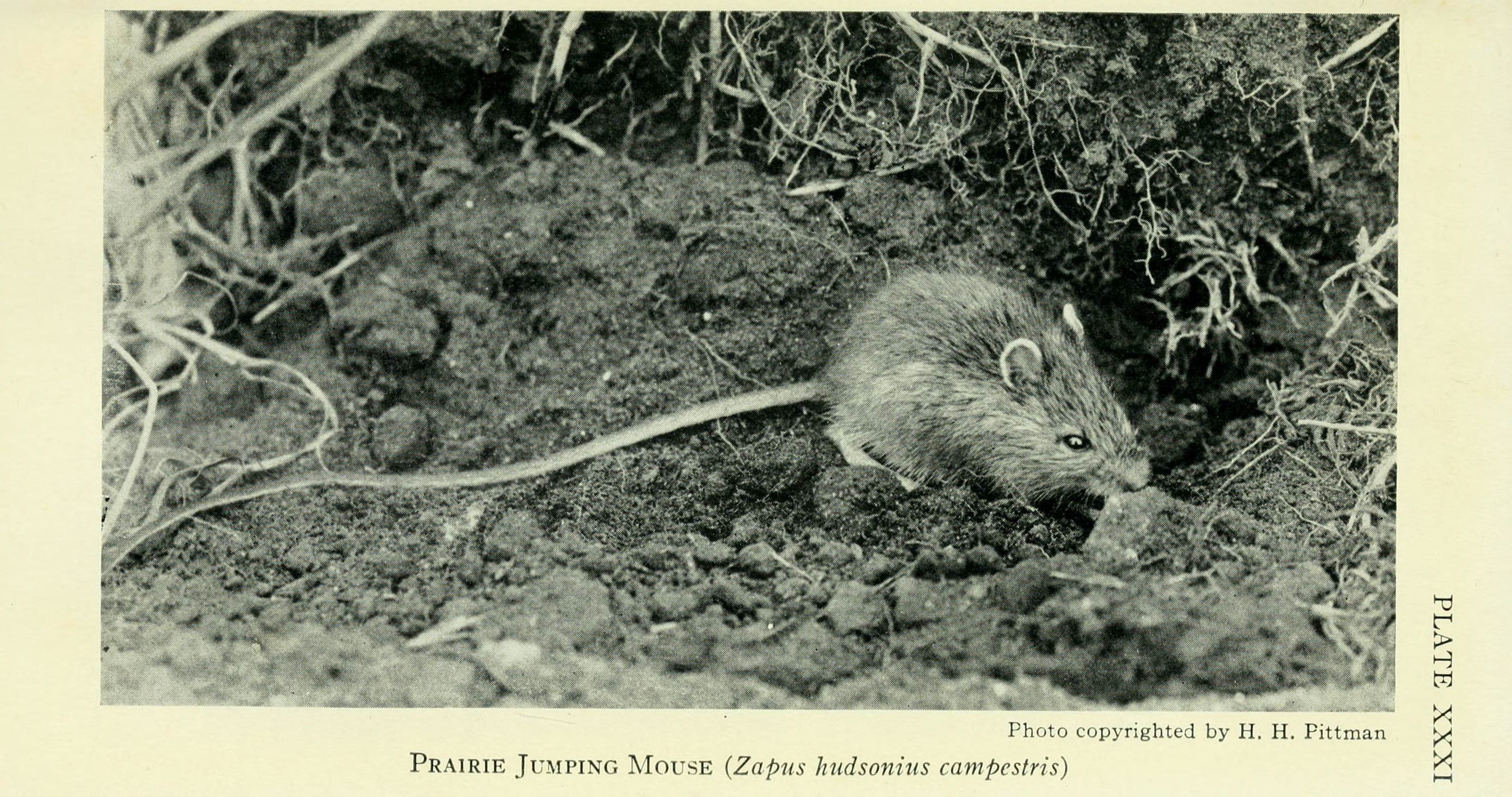 Image of <i>Zapus hudsonius campestris</i>