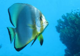 Image of Orbicular batfish