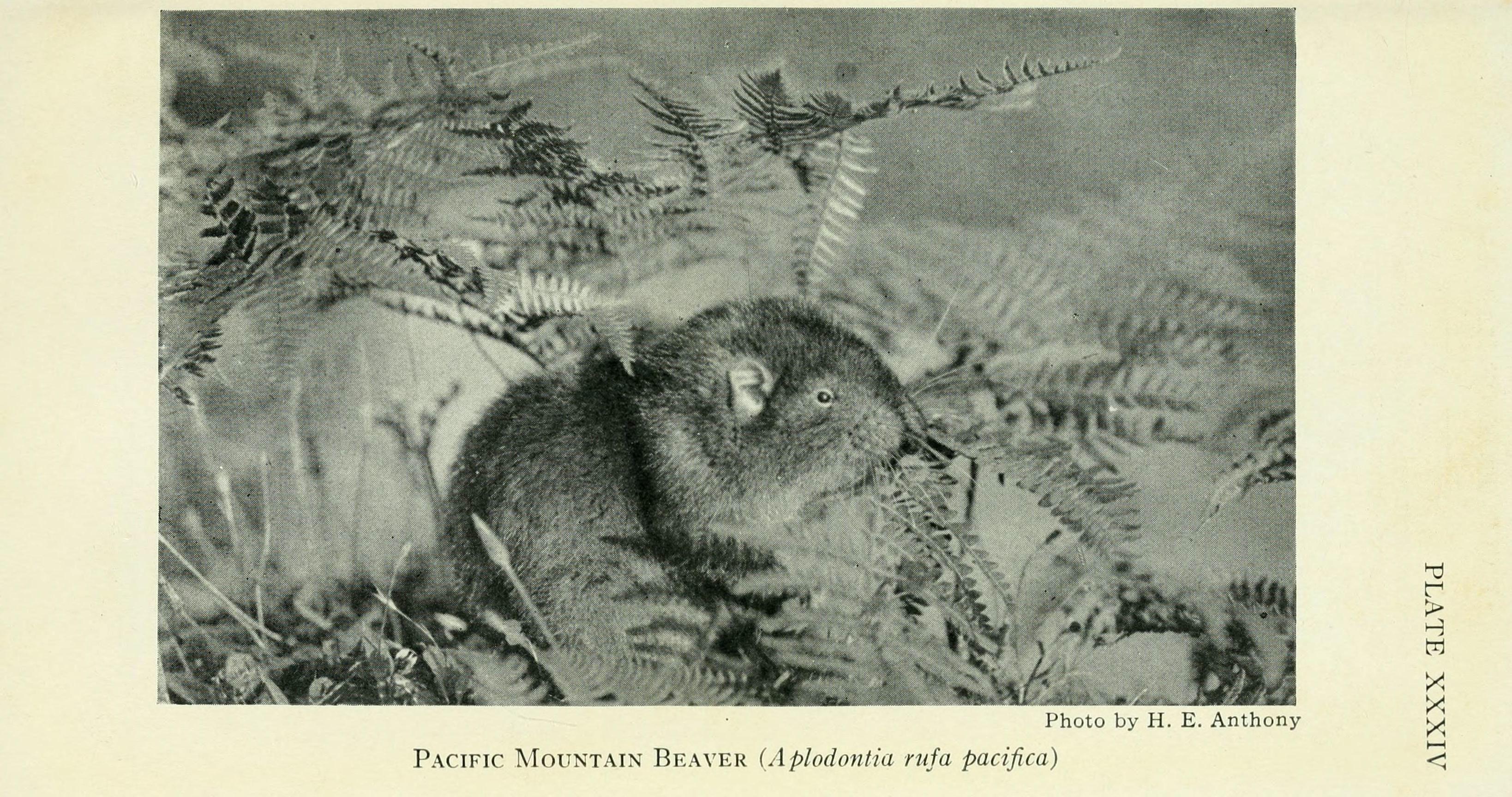 Image of <i>Aplodontia rufa pacifica</i> Merriam 1899