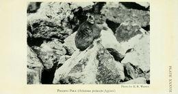 Image of <i>Ochotona</i> (<i>Pika</i>) <i>princeps figginsi</i> Allen 1912
