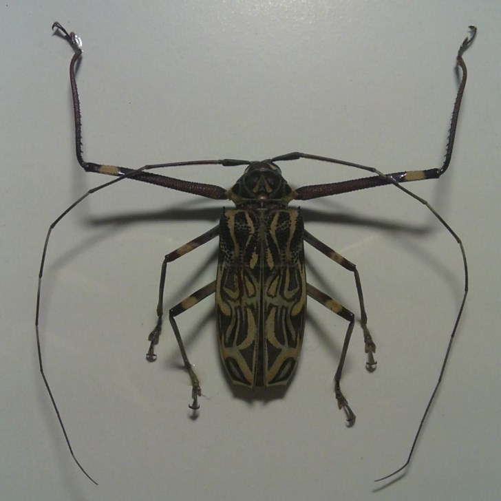 Image of harlequin beetles