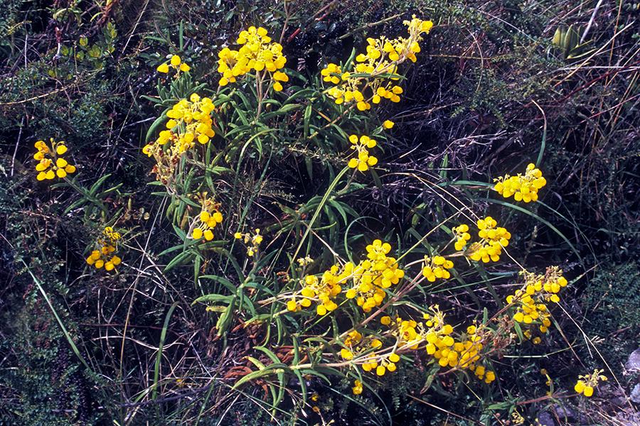 Image of <i>Calceolaria rosmarinifolia</i> Lam.