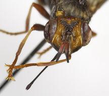 Image of <i>Pleurocerina brevis</i> Schneider 2010