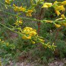 Слика од <i>Viminaria juncea</i> (Schrad.) Hoffmanns.
