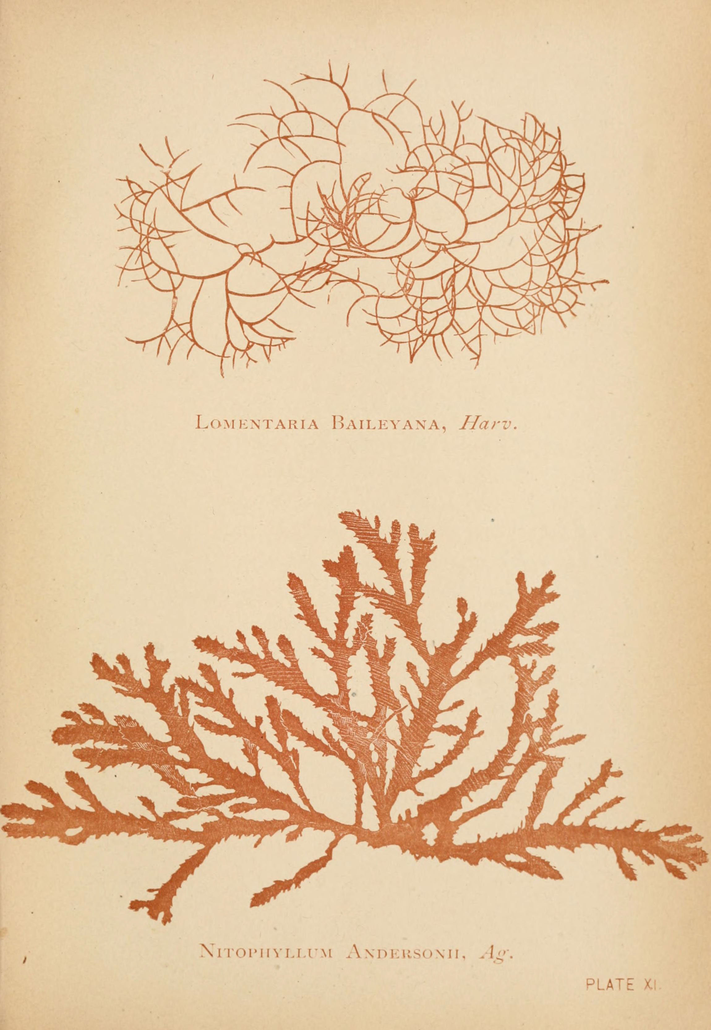Image of <i>Lomentaria baileyana</i>