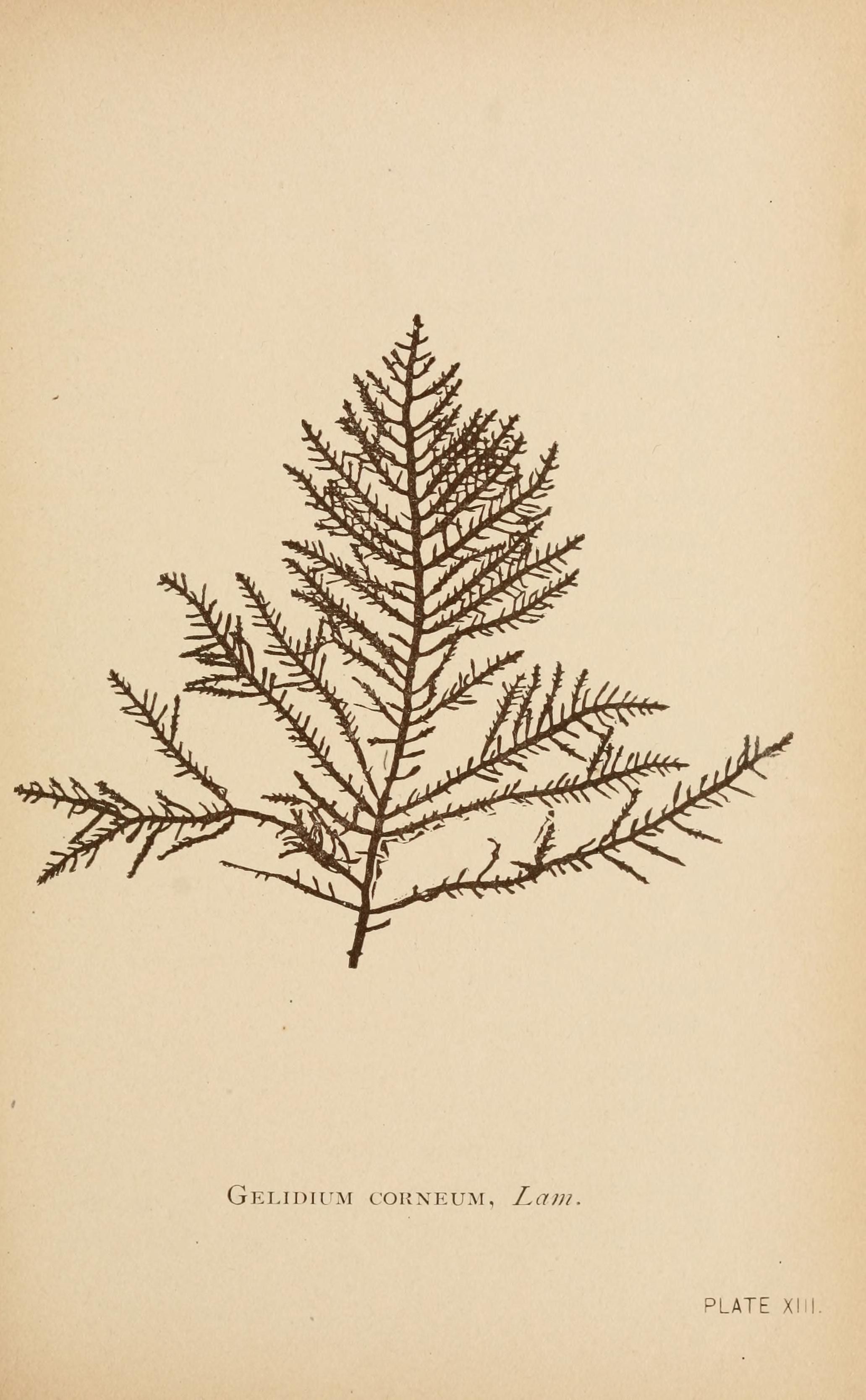 Image of <i>Gelidium corneum</i>