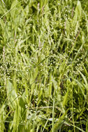 Image of <i>Panicum leibergii</i> (Vasey) Scribn.