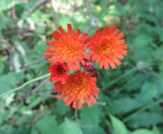 Image of orange hawkweed
