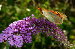 Image of Butterfly bush