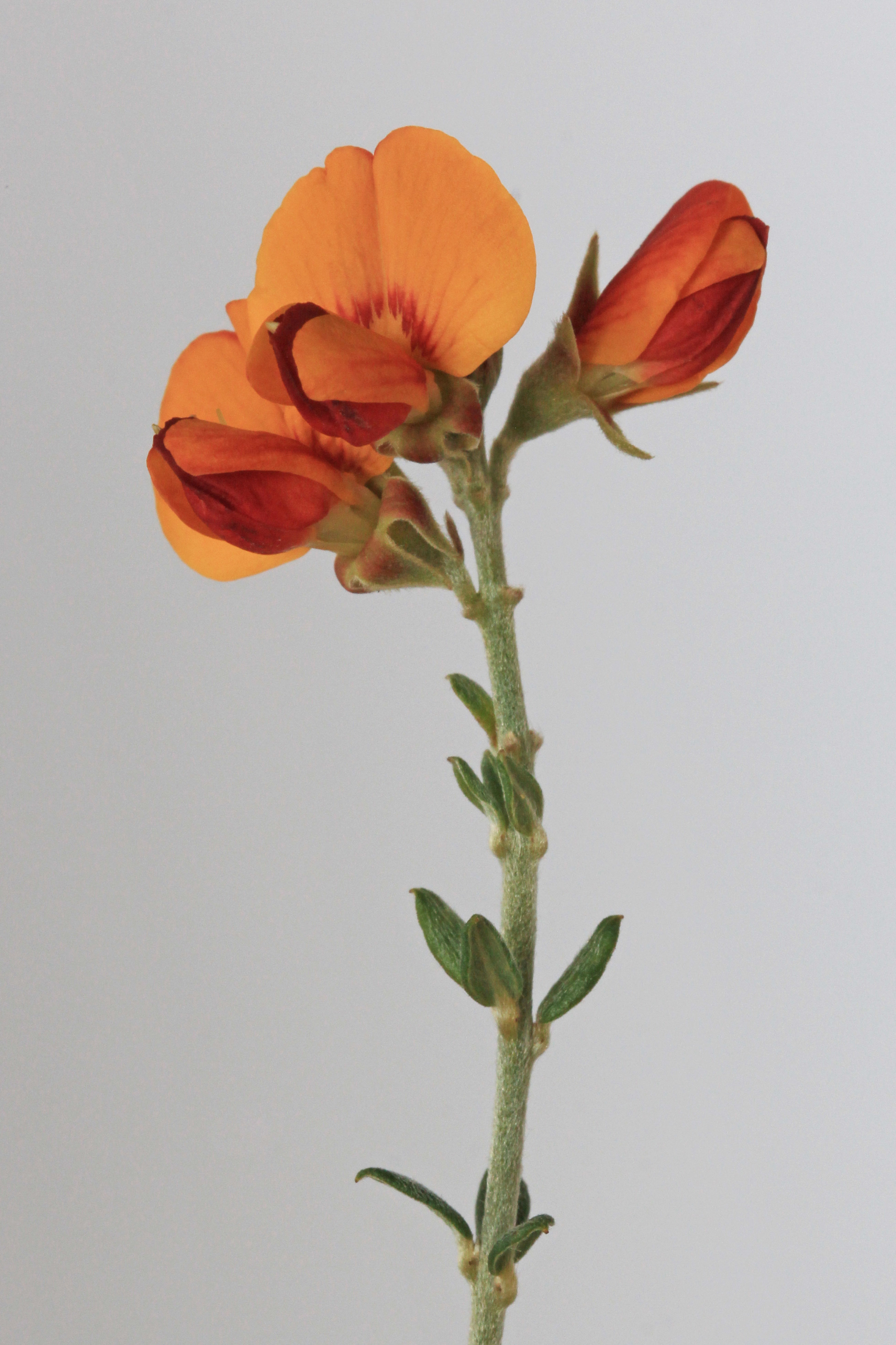 Image of <i>Mirbelia oxylobioides</i> F. Muell.