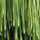 Image of <i>Huperzia carinata</i> (Desv. ex Poir.) Trevis.