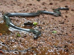 Image of Beddome's Black Earth Snake