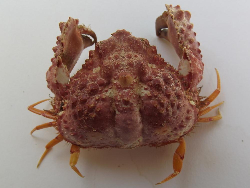 Image of rough box crab