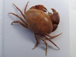 Image of convex reef crab