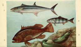 Image of Spanish mackerel