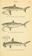Image of Blue Shark