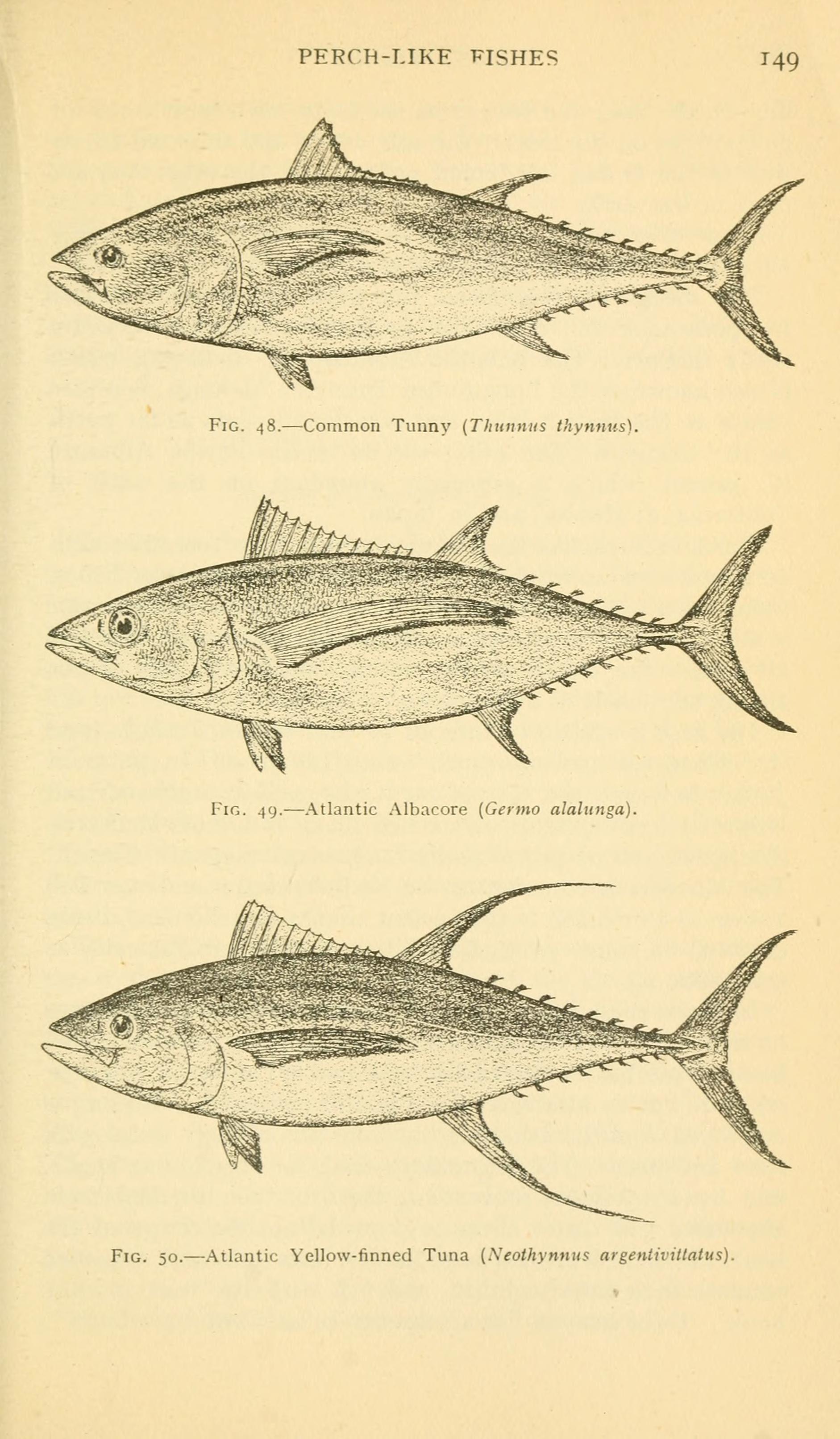 Image of Atlantic Bluefin Tuna