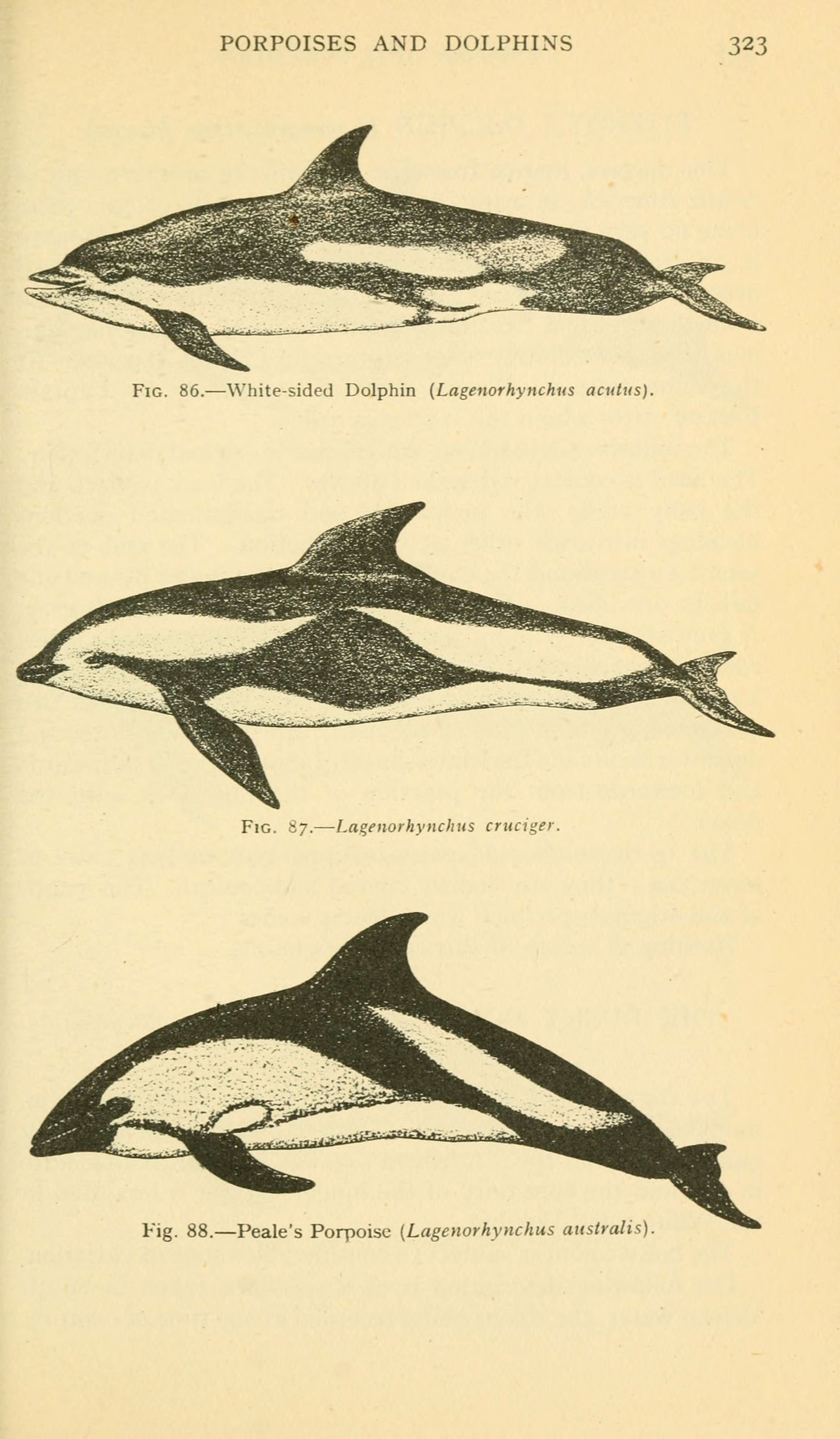 Image of Atlantic White-sided Dolphin