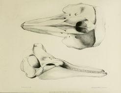 Image of <i>Lagenorhynchus leucopleurus</i>