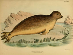 Image of Crabeater Seal
