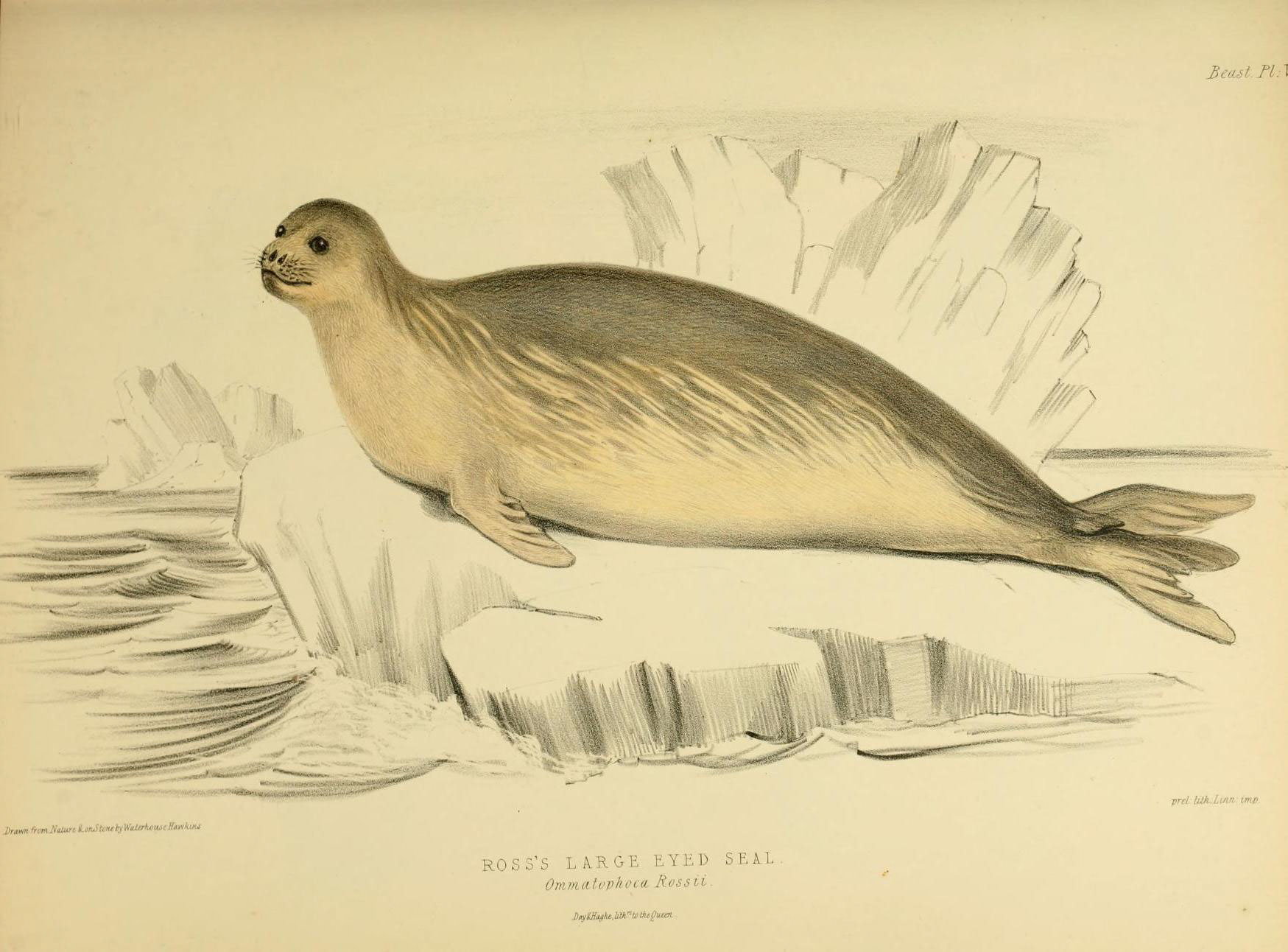 Image of Ross Seal