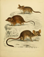 Image of Yellow-footed marsupial mouse