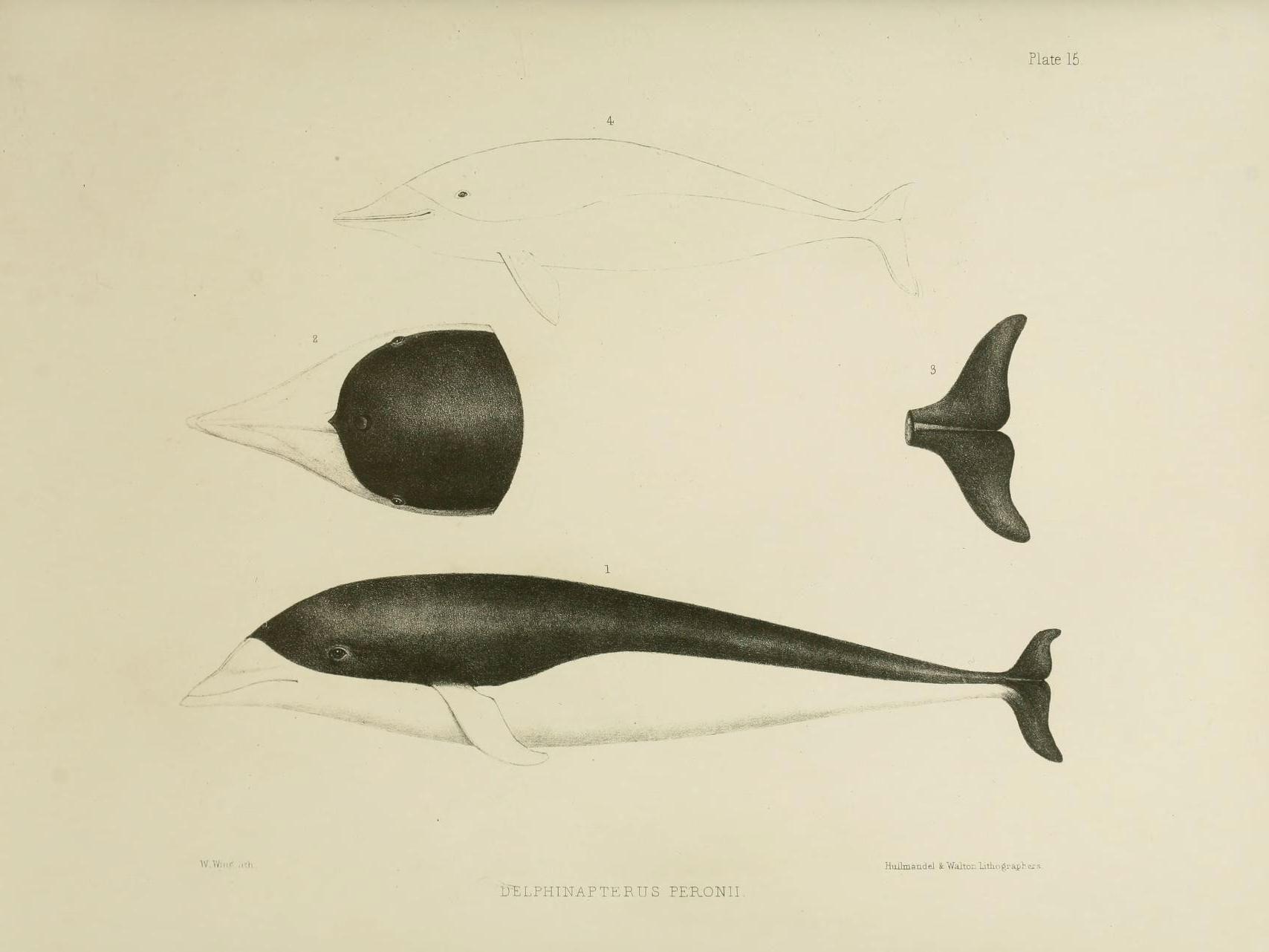Image of <i>Delphinapterus peronii</i>